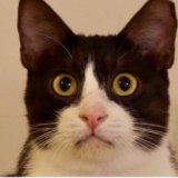 マニラの保護猫・はちわれの『ハッチ』 (1)